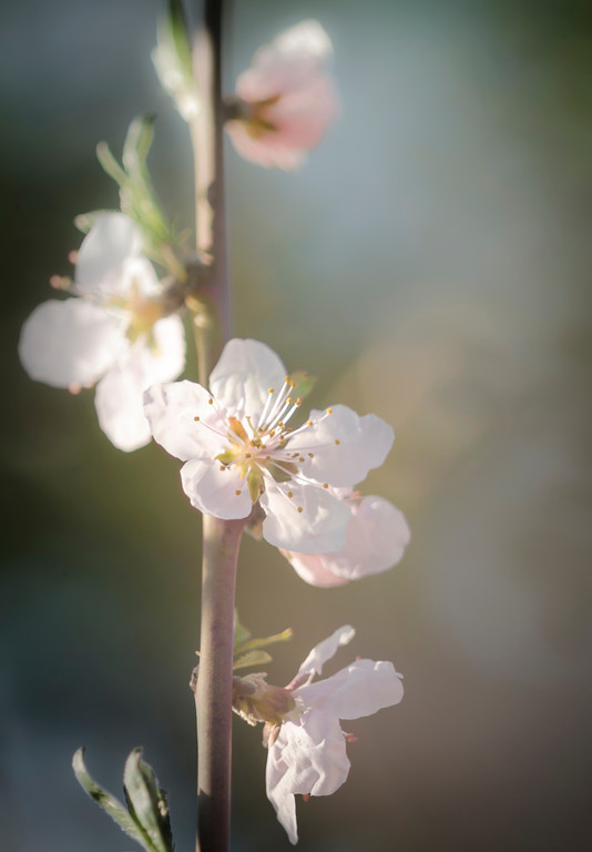 Peach Blossoms Portrait