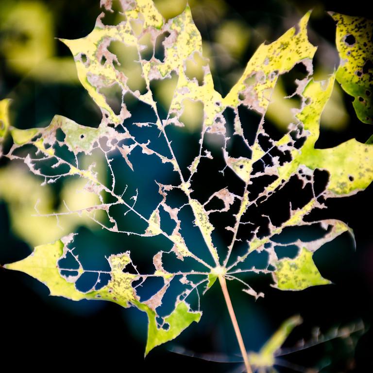 Lace Leaf 1