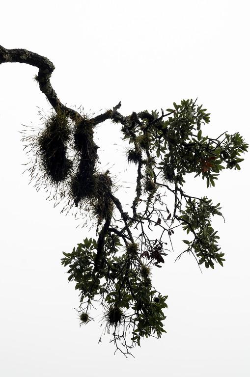 Ball Moss on Live oak 2